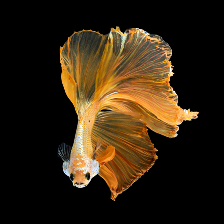 Close up art movement of Betta fish,Siamese fighting fish isolated on black background.Fine art design concept. Banque d'images
