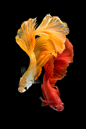 Close up art movement of Betta fish,Siamese fighting fish isolated on black background.Fine art design concept. Banco de Imagens