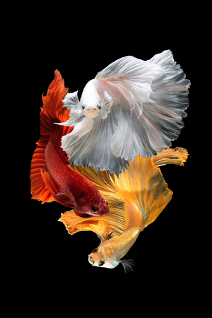 Close up art movement of Betta fish,Siamese fighting fish isolated on black background.Fine art design concept. Stock Photo