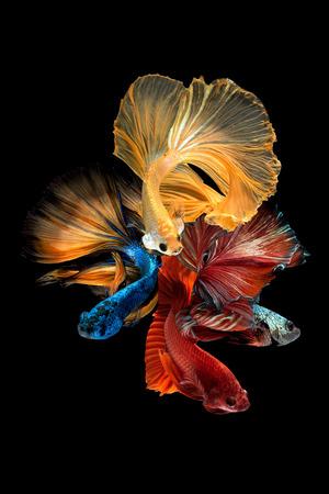 Close up art movement of Betta fish,Siamese fighting fish isolated on black background.Fine art design concept. Stockfoto