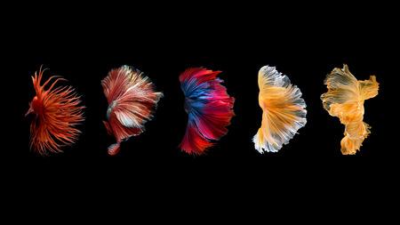 Primo piano movimento d'arte di pesce Betta, pesci siamesi di combattimento isolato su sfondo nero. Concetto di design d'arte di fondo. Archivio Fotografico - 92355158