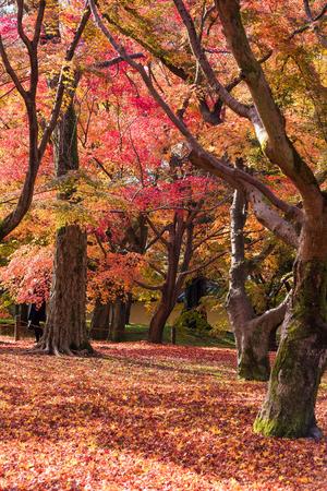 Beautiful nature colourful tree leaves in Japanese zen garden in autumn season at Kyoto,Japan.