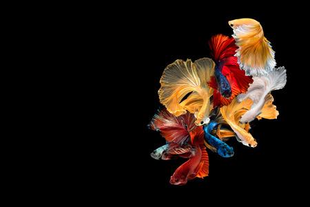 Schließen Sie herauf Kunstbewegung von Betta-Fischen, die siamesischen kämpfenden Fische, die auf schwarzem Hintergrund mit Kopienraum lokalisiert werden. Kunstdesignkonzept.