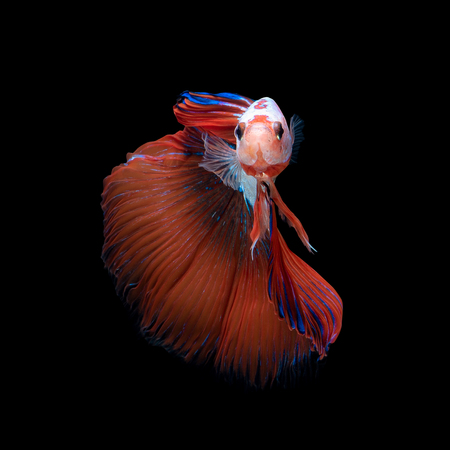 Close up art movement of Betta fish or Siamese fighting fish isolated on black background.Fine art design concept. Stock Photo