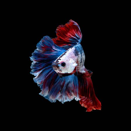 Close up art movement of Betta fish or Siamese fighting fish isolated on black background