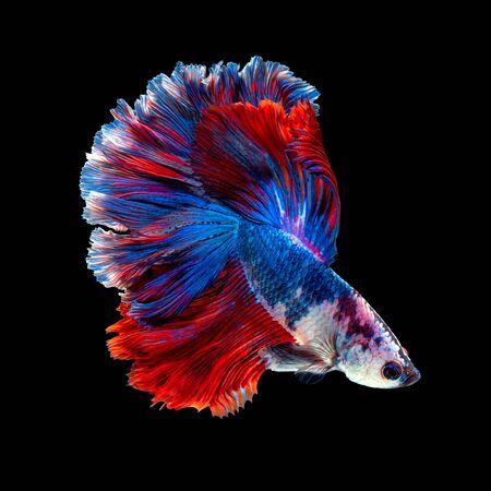 Gros plan sur le mouvement artistique du poisson Betta ou du poisson combattant siamois isolé sur fond noir Banque d'images