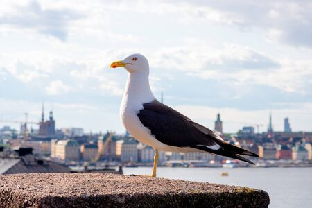 Seagull at the bridge with ocean and city of Stockholm in background at Sweden
