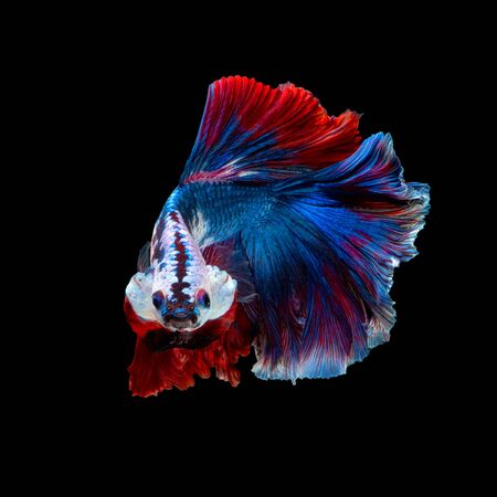 Close up art movement of Betta fish or Siamese fighting fish isolated on black background Stock fotó