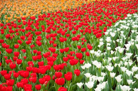berkmeer: colorful tulips in the garden Stock Photo