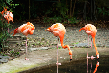 Pink flamingos drinking in park photo
