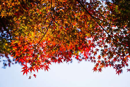 Japanese maple leaves in autumn, isolated with selective focus photo