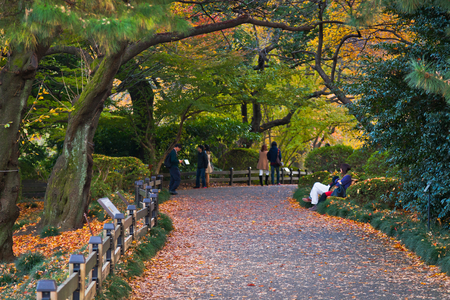 Yellow Autumn Leaves, Fall Autumn Color Trees, people photo taking and playing.Shinjuku-gyoen park in Tokyo during hanami or cherry blossom season