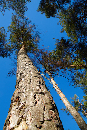shipbuilding: The towering pine trees against the sky