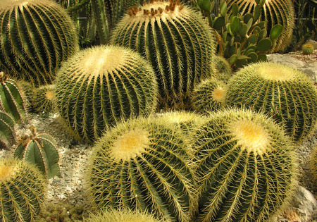 spiny: cactus in desert. Nature green background or wallpaper