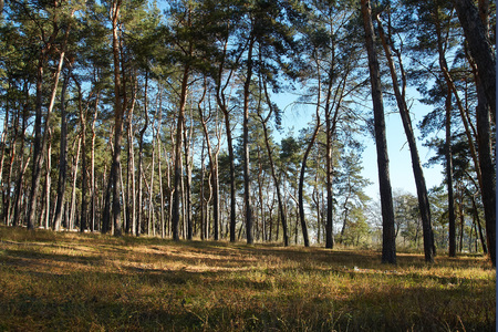 shipbuilding: Morning pine forest in soft daylight