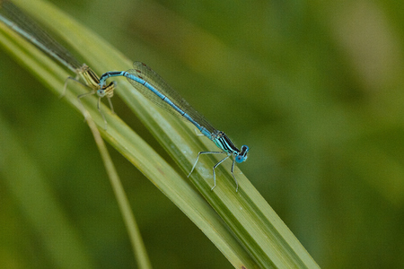 The Dragonfly on the sedge sheet