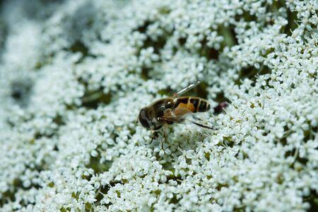 yarrow: Fly sitting on the yarrow inflorescence