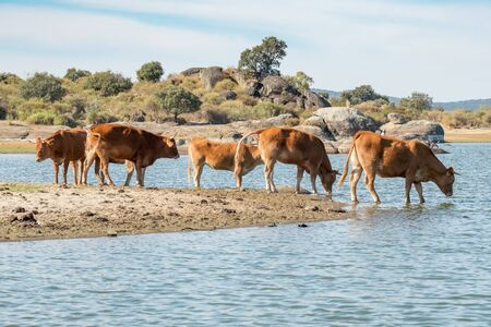 touristy: Cows of spanish retinta breed are drinking and eating grass on Barruecos zone, Caceres, Spain Stock Photo