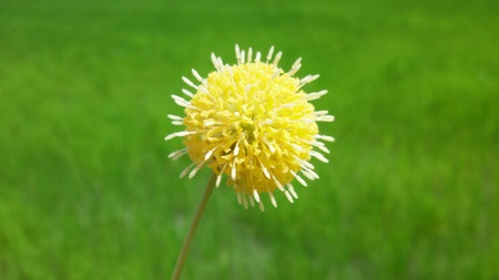 fluffy: Yellow fluffy flower