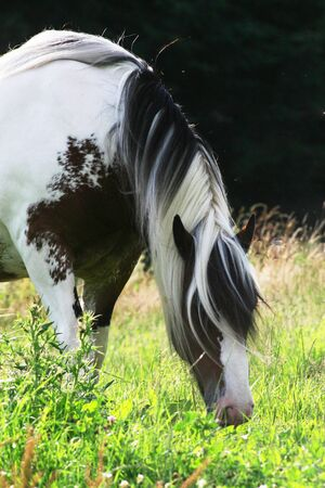 tinker: white and brown stocked horse on a paddock
