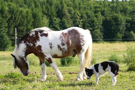 stocked: white and brown stocked horse and dog on a paddock