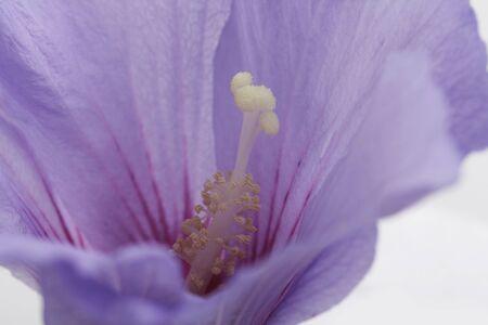 purple hibiscus flower photo