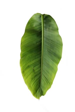 banana leaf: verde hoja de pl�tano �nico Foto de archivo