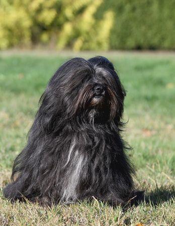 Black Tibetan Terrier