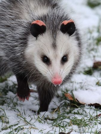 Opossum in snow