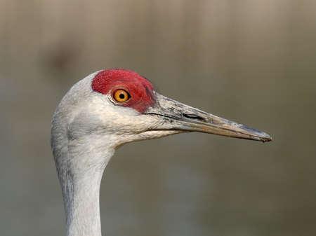 sandhill crane: Portrait of an alert sandhill crane