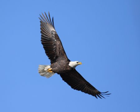 Majestic Bald Eagle soaring Stock Photo