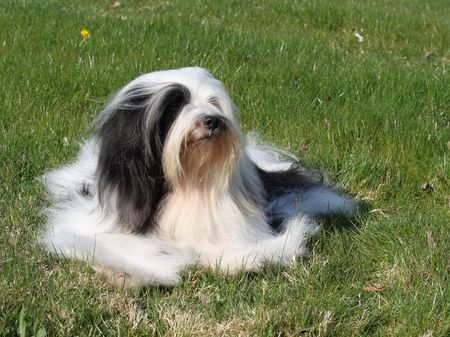 White and black Tibetan Terrier dog lying on lawn Stock Photo - 2876474