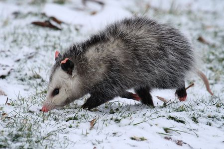 Opossum walking in snow