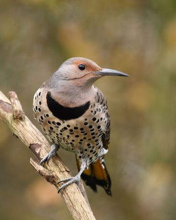 Northern Flicker female perched alertly on branch