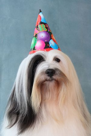 portrait of white and black long-haired Tibetan Terrier dog wearing a party hat Stock Photo