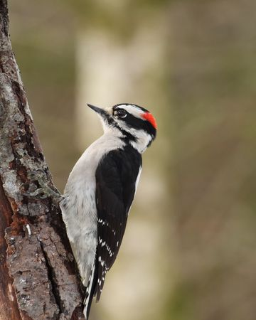 downy woodpecker: male downy woodpecker perched on old tree with blurred green background