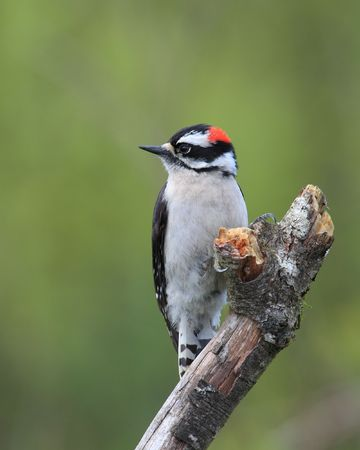 downy woodpecker: cute male downy woodpecker perched on branch with blurred green background