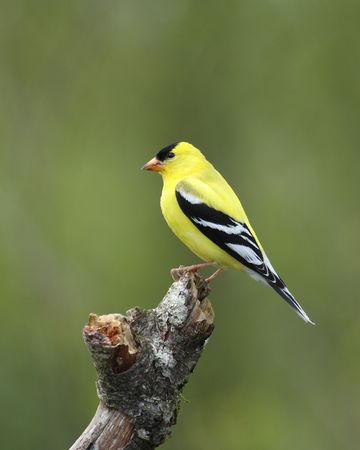 bright yellow male goldfinch in breeding plumage