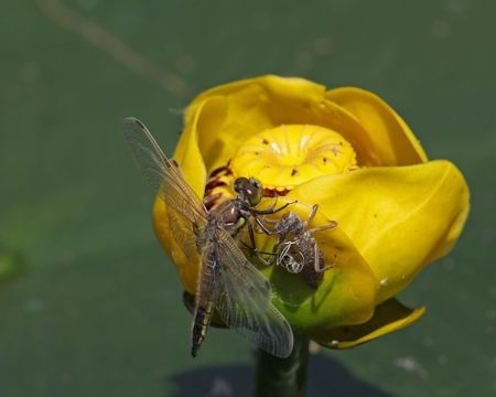 newly hatched dragonfly beside empty nymph shell on yellow pond lily photo