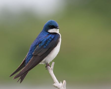 beautiful blue and white tree swallow perched on branch