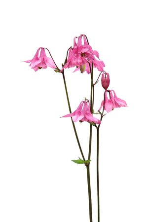 pink columbine: pink columbine flowers isolated on white background