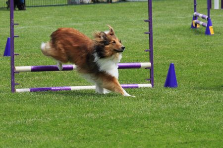 Shetland Sheepdog clearing a jump at agility trial Stock Photo