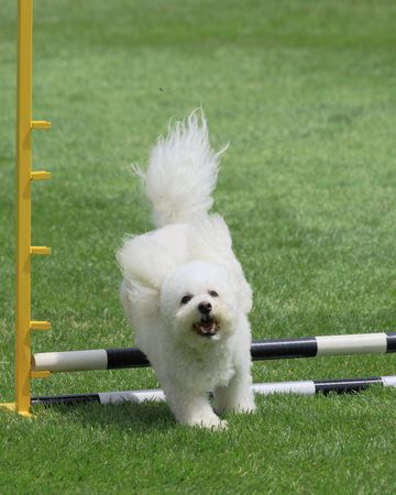 happy Bichon Frise jumping at agility trial