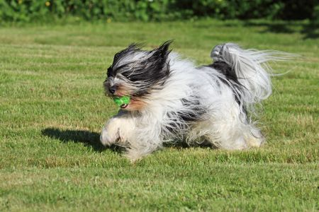White and black Tibetan Terrier dog running with green ball in mouth