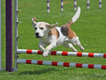 Beagle clearing a jump at agility trial