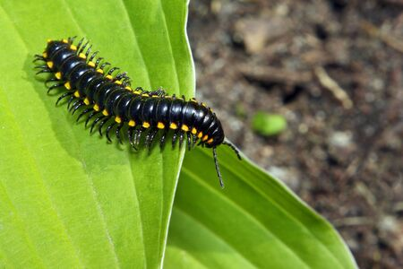 black and yellow millipede on green leaf Stock Photo