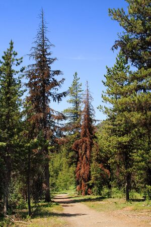 trail through forest showing trees damaged by pine beetles