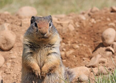 Columbian Ground Squirrel looks at camera with dirty nose after digging a burrow Фото со стока