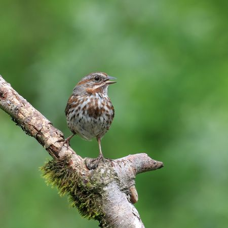Song Sparrow perched on mossy branch with beak open singing