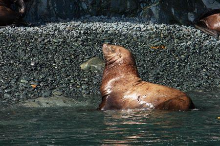 Steller sea lion in Alaska waters Stock Photo - 3342868